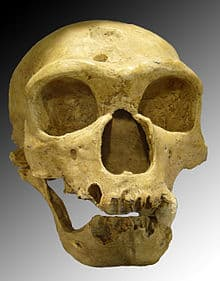 homo neandertal calabera