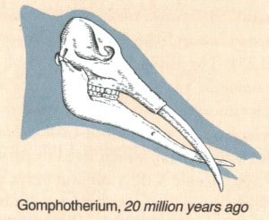 gomphothere-skull