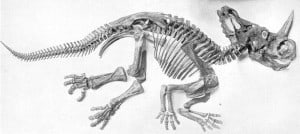 huesos encontrados del rinoceratops