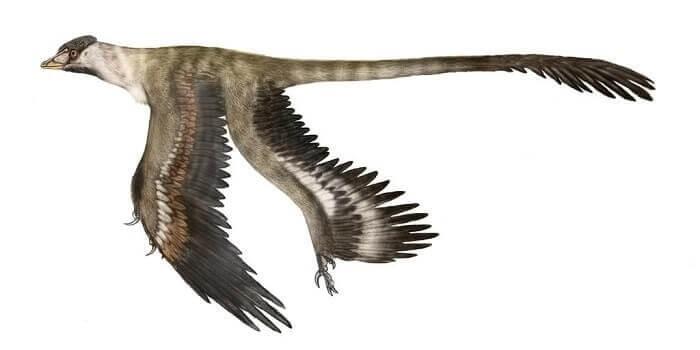 Dibujo de un Microraptor