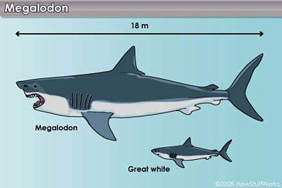 Comparativa de un megalodón con un gran tiburón blanco