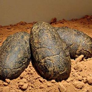 huevos ovalados de dinosaurio fosilizados