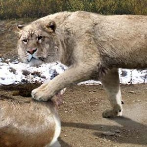 leon prehistorico cazaba en grupo
