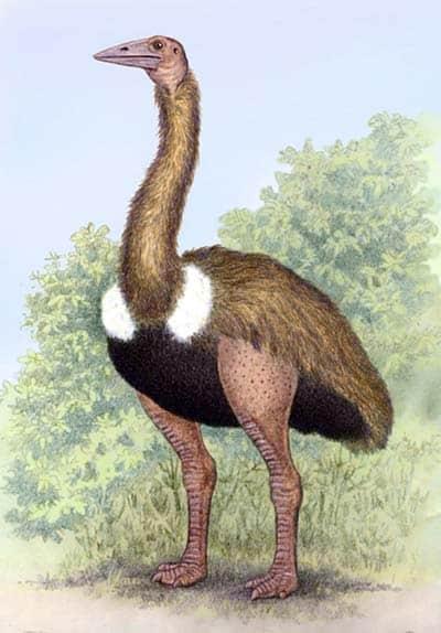 aepyornis - ave prehistorica