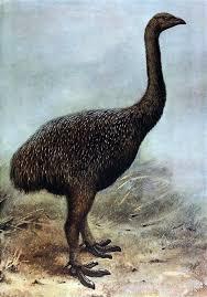 moa - ave prehistorica