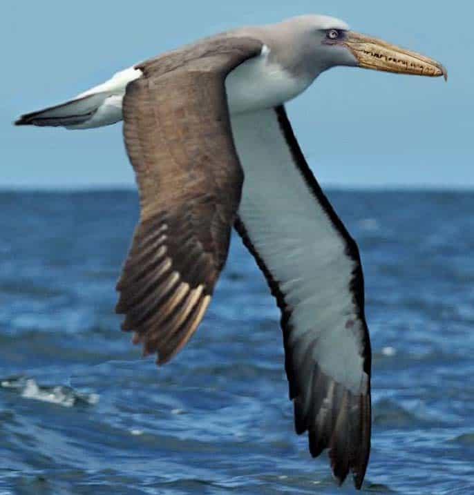 pelagornis - ave prehistorica